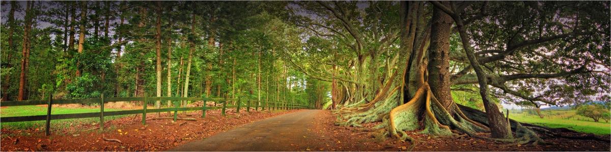 Moreton-Bay-Fig-Trees-NI0279-10x40 copy