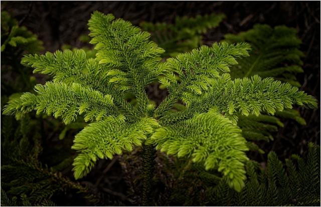 New-Growth-Norfolk-Pine-NI01-11x17 copy