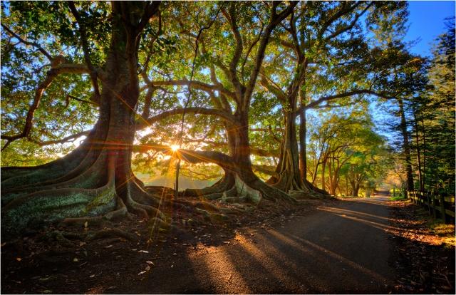 Sunstar-Moreton-Bay-Trees-NI0259-11x17 copy