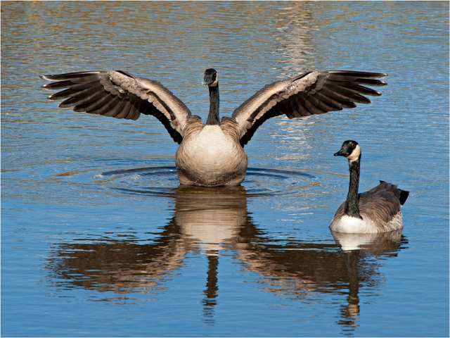 Canada-Geese-MTN052-12x16 copy