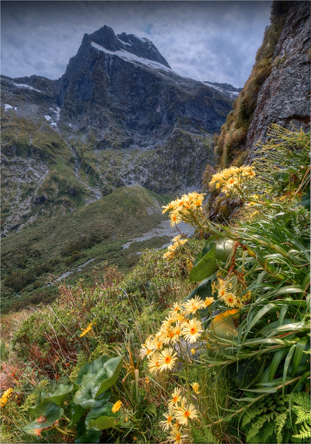 Mountain-Daisies-Milford-Track-NZ090-14x20 copy