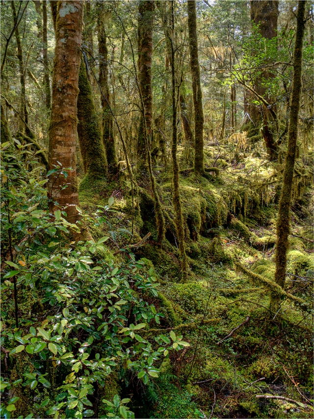 Rainforest-Clinton-River-Milford-Track-NZ085-12x16 copy