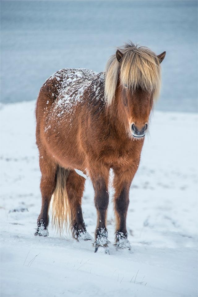 Icelandic-Horse-ICL01024