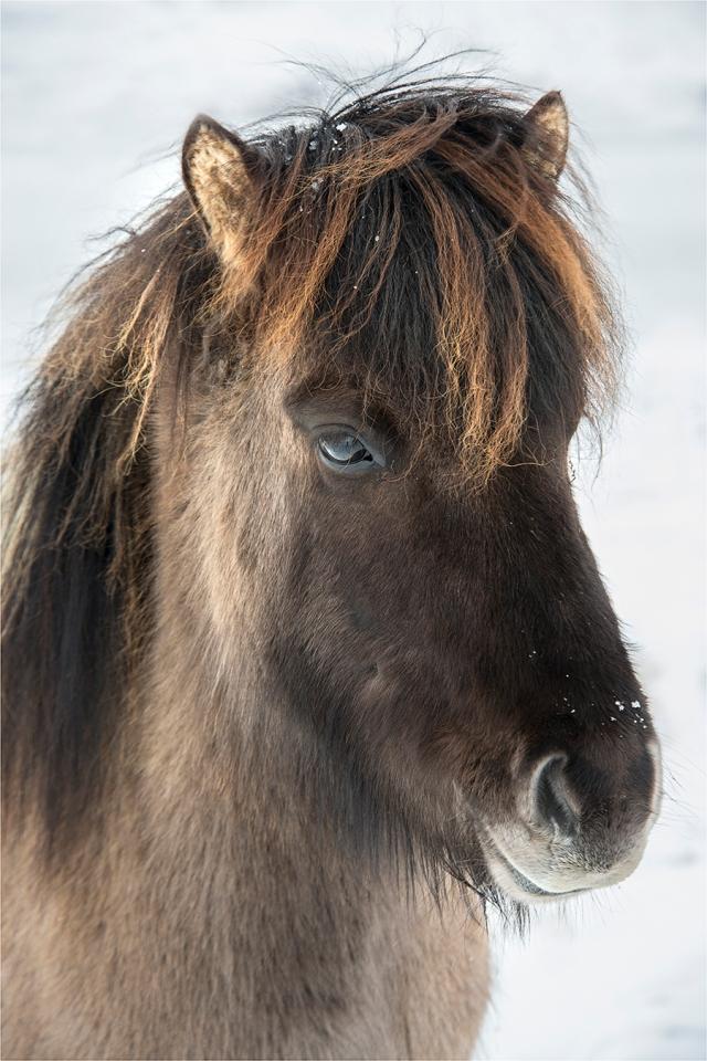 Icelandic-Horse-ICL01724