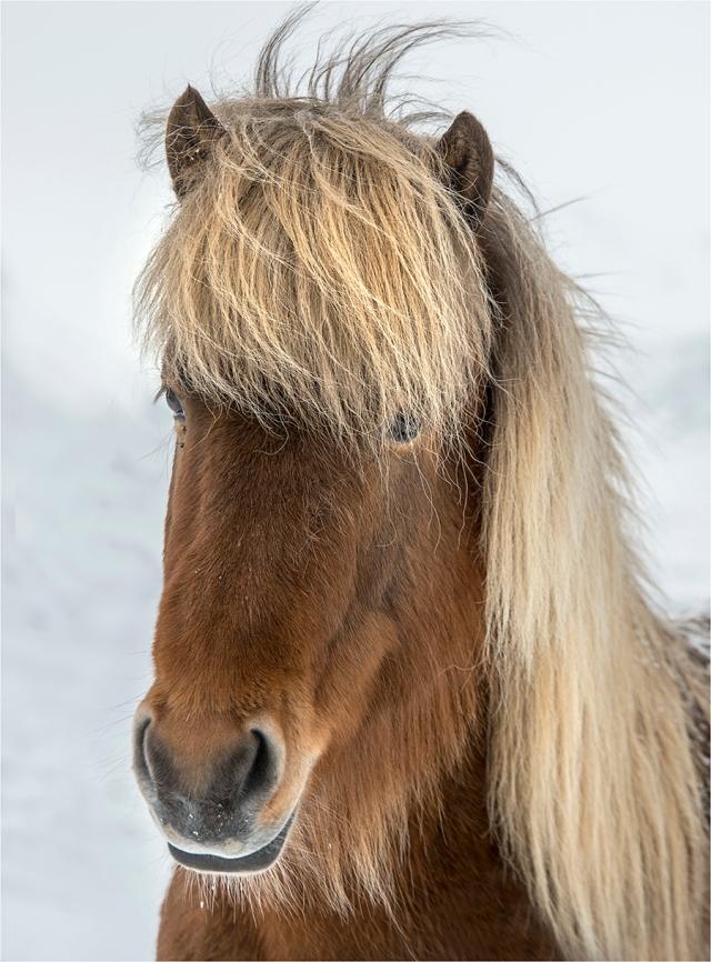 Icelandic-Horse-ICL023