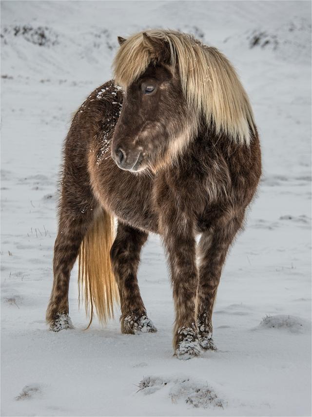 Icelandic-Horse-ICL05524