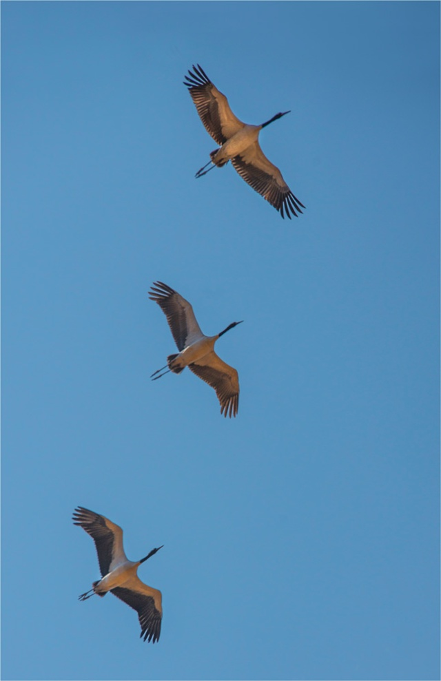 Black-Necked-Cranes-Trongsa-BHU097-11x17