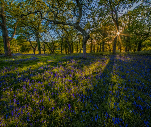 Bluebells-at-Creech-E0-21x25 copy