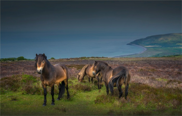 Exmoor-Ponies-E0-16x25