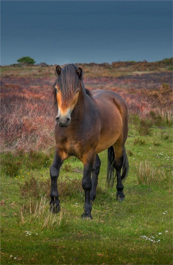 Exmoor-Pony-E01-17x26