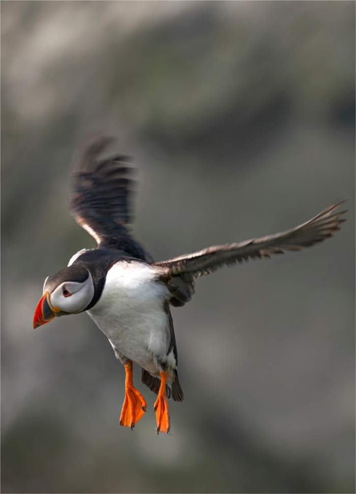 Atlantic-Puffin-SHET004-18x25