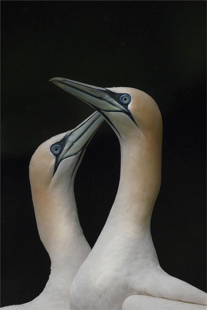 Gannets-SHET008-16x24