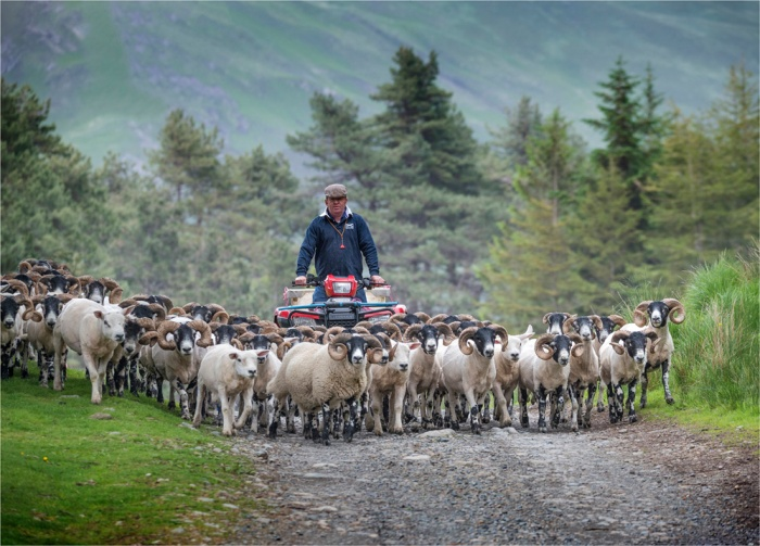 Herding-Rams-Loch-Ba-SCT0440-18x25