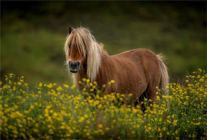 Shetland-Pony-SHET019-17x25