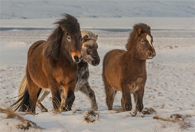 Budardalur-Ponies
