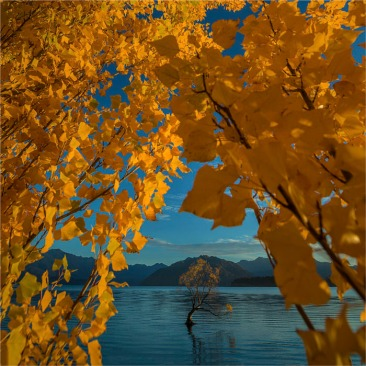 Autumn-Wanaka-Tree-NZ0334-25x25