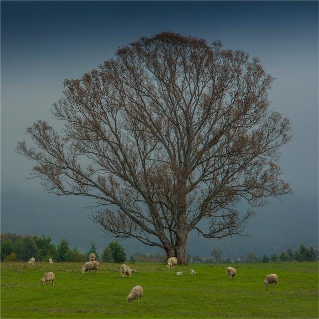 Nillahcootie-Pastural-VIC-003-25x25