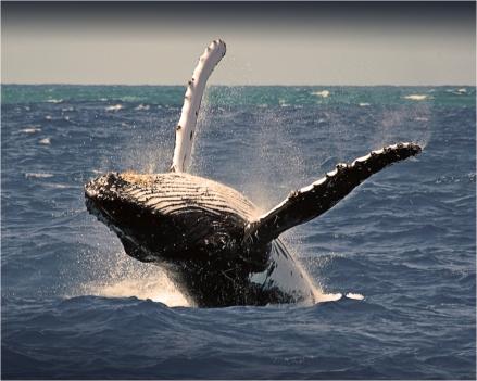 Panama Whale Watching: Whale Watching Season in Paradise