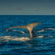 Humpback-Tail-NSW0170-25x25