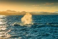 Humpback-Whales-2016Brunswick-Heads-NSW-130-17x25