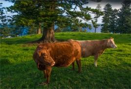 cows-shearwater-2016ni-074-17x25