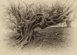 gnarled-trees-2016ni-001-18x25