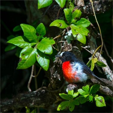 red-robin-mount-bates-2016ni-005-20x20