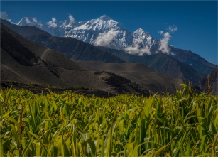 kagbeni-corn-mountains-npl001-18x25