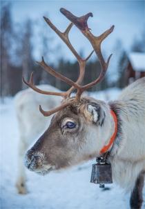 lars-sami-reindeer-2017-swe159-18x26
