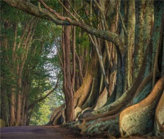 New-Farm-Road-Trees-2017-Norfolk-Island-021