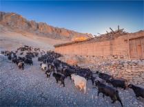 Kagbeni-Goat-Herder-2018-NEPAL-0373
