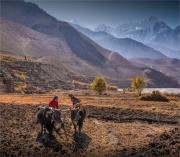 Kagbeni-Ploughing-Mustang-NOV-2018-NEPAL-0075