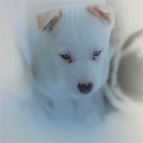 Husky-Pup-Feb2019-SWE001