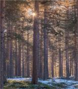 Jokkmokk-Forest-Winter-Feb2019-SWE02098
