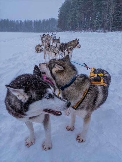 Siberian-Huskies-Lapland-09032019-SWE049