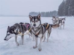 Siberian-Huskies-Lapland-09032019-SWE057