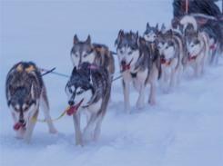 Siberian-Huskies-Lapland-09032019-SWE219