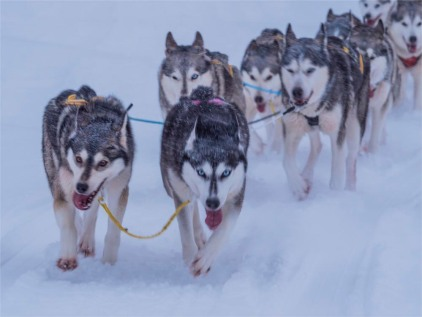 Siberian-Huskies-Lapland-09032019-SWE220