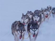 Siberian-Huskies-Lapland-09032019-SWE222