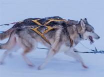 Siberian-Huskies-Lapland-09032019-SWE267
