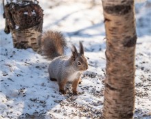 Squirrel-Jokkmokk-Lapland-07032019-SWE088