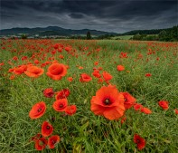 Poppies-Rural-Ceski-Krumlov-130619-Czech-Republic-013