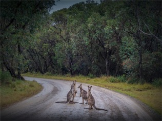 Kangaroos-Potato-Head-081019-NSW-113