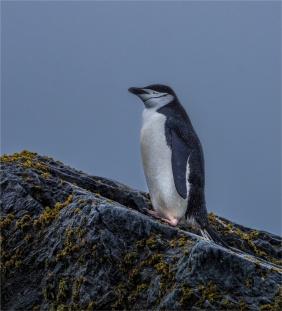 Chinstrap-Elephant-Island-11272019-Antarctic-Peninsular-274