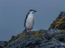 Elephant-Island-11272019-Antarctic-Peninsular-265