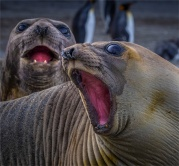 Elephant-Seals-St-Andrews-Bay-11232019-South-Georgia-Island-035