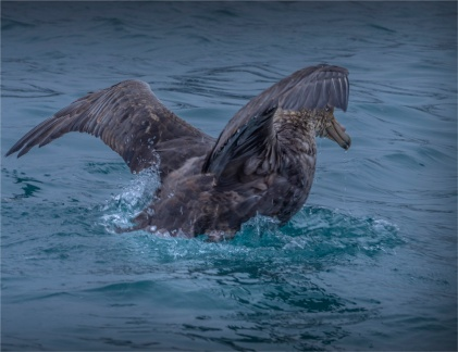 Giant-Petrel-Whale-Bay-22112019-South-Georgia-Island-541