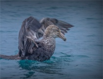 Giant-Petrel-Whale-Bay-22112019-South-Georgia-Island-554