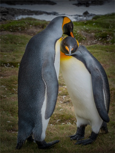 King-Penguins-Salisbury-Plain-22112019-South-Georgia-Island-1354