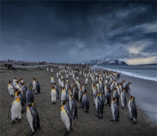 King-Penguins-Salisbury-Plain-Beach-11222019South-Georgia-Island-1905